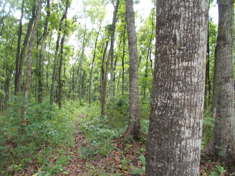 Bosque de caoba joven en grobogan, Indonesia imagen de archivo
