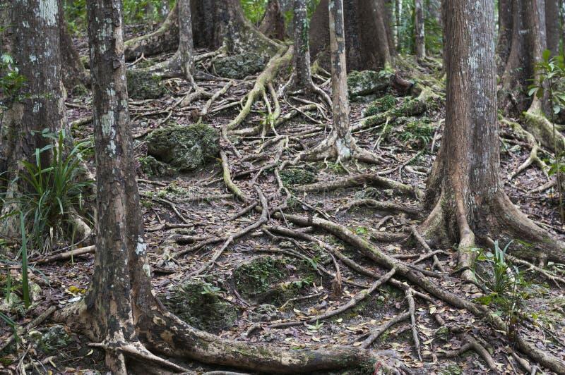 Bosque de caoba, Meliaceae imagen de archivo