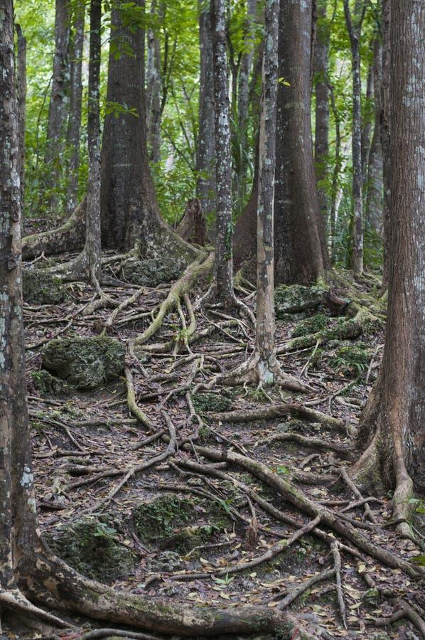 Bosque de caoba, Meliaceae imagenes de archivo