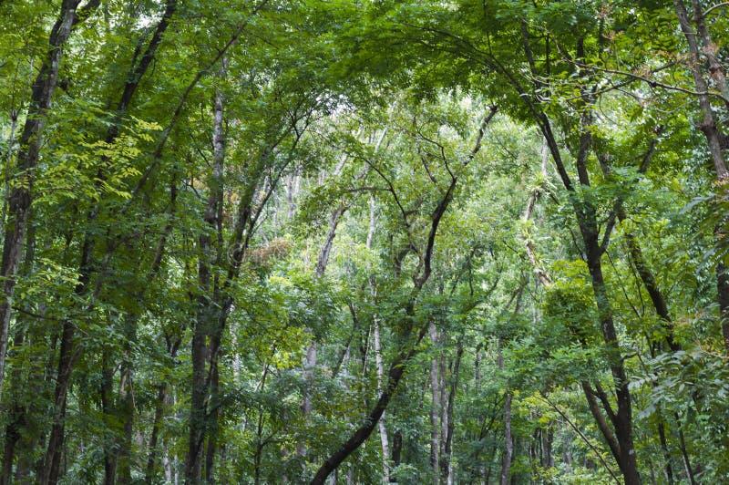 Bosque de caoba, Meliaceae fotografía de archivo libre de regalías