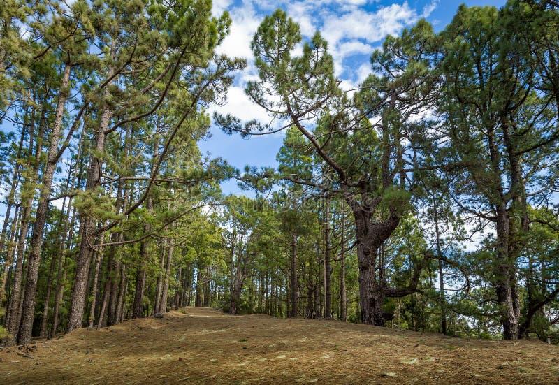 Bosque Tenerife De Esperanza Fotos Libres De Derechos Y Gratuitas De Dreamstime