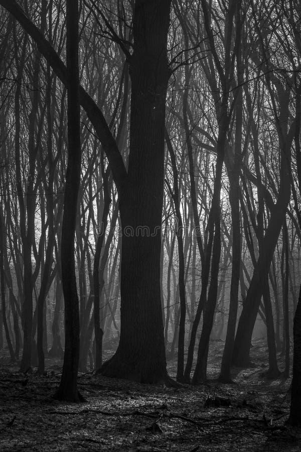 Bosque de Hoia Baciu - mundo la mayoría del bosque frecuentado con una reputación para muchos actividad paranormal intensa y acon imagenes de archivo