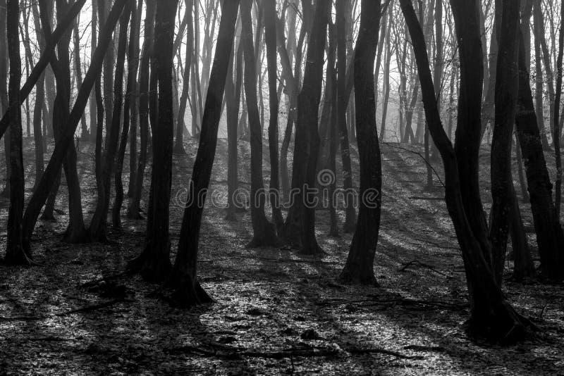 Bosque de Hoia Baciu - mundo la mayoría del bosque frecuentado con una reputación para muchos actividad paranormal intensa y acon foto de archivo libre de regalías