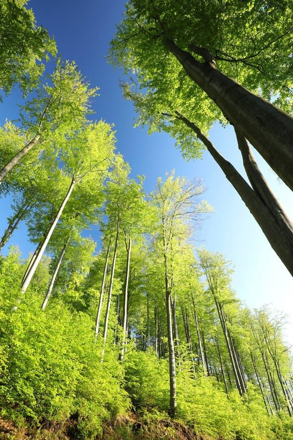 Bosque de hojas caducas de la primavera en el amanecer fotografía de archivo libre de regalías