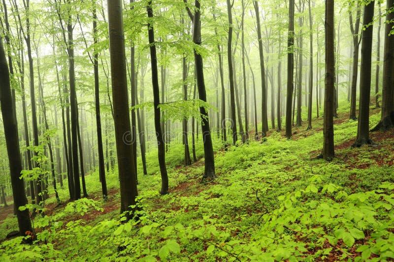 Bosque de hojas caducas de la primavera en la niebla fotos de archivo libres de regalías