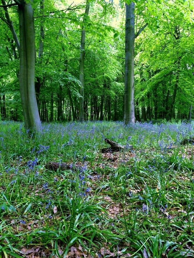 Bosque de la campanilla foto de archivo libre de regalías