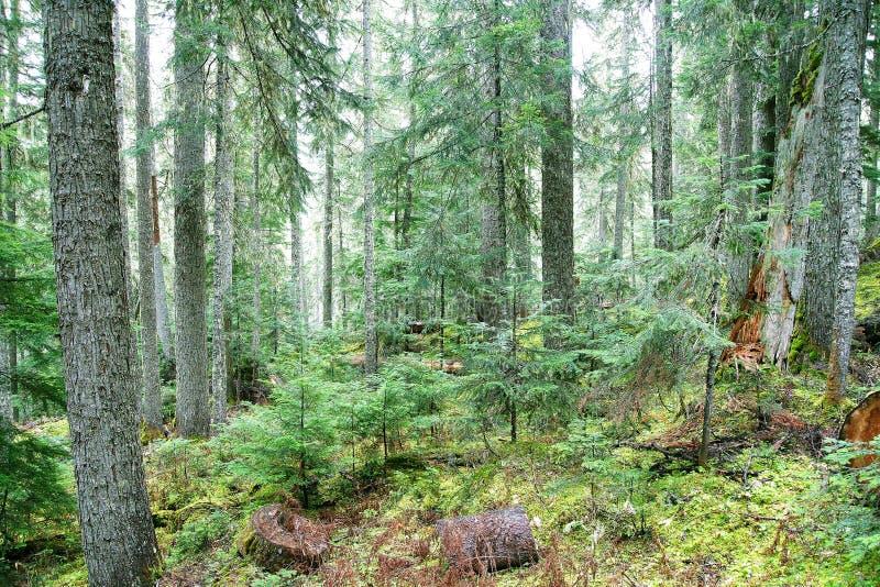 Bosque de la conífera en Columbia Británica foto de archivo libre de regalías