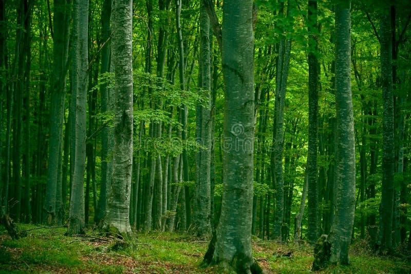 Bosque de la haya fotografía de archivo libre de regalías