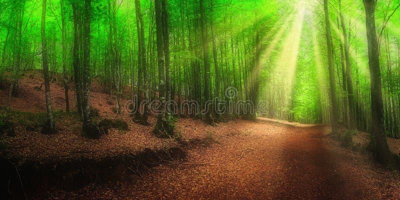 Bosque de la haya en primavera con los rayos del sol imagen de archivo