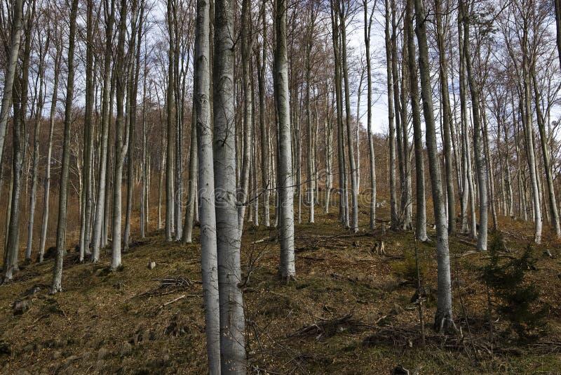 Bosque de la haya en primavera temprana imagenes de archivo