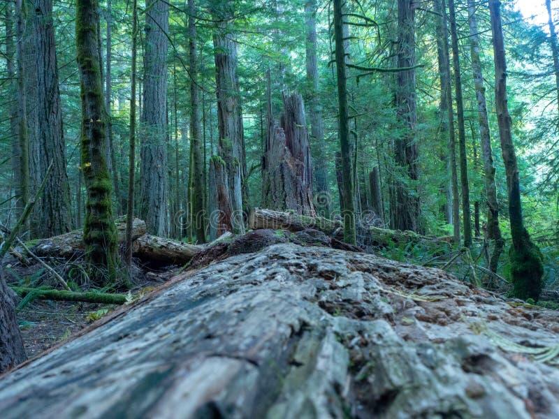 Bosque de la isla de Vancouver imagenes de archivo