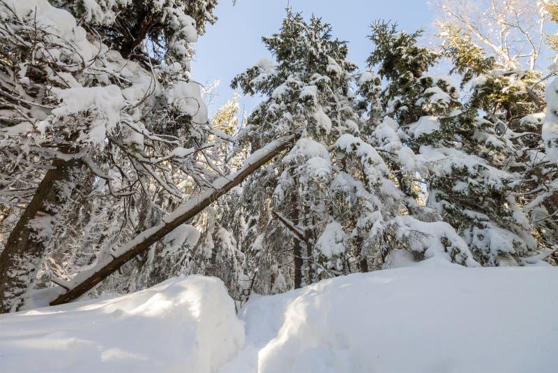 Bosque de la montaña con los abetos cubiertos con la nieve profunda blanca en b fotografía de archivo libre de regalías