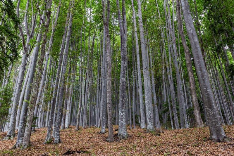 Bosque 4 de la montaña de Gurguiatu fotografía de archivo