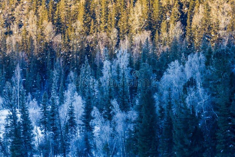 Bosque de la nieve en invierno El bosque nevado de Gongnaisi en invierno fotos de archivo libres de regalías