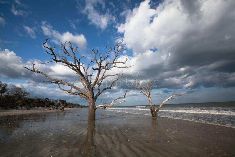 Bosque de la playa de Boneyard de los árboles, bahía de la botánica, SC imagenes de archivo