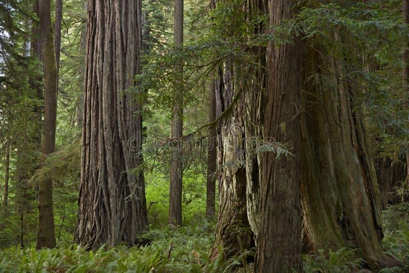Bosque de la secoya de California fotografía de archivo libre de regalías