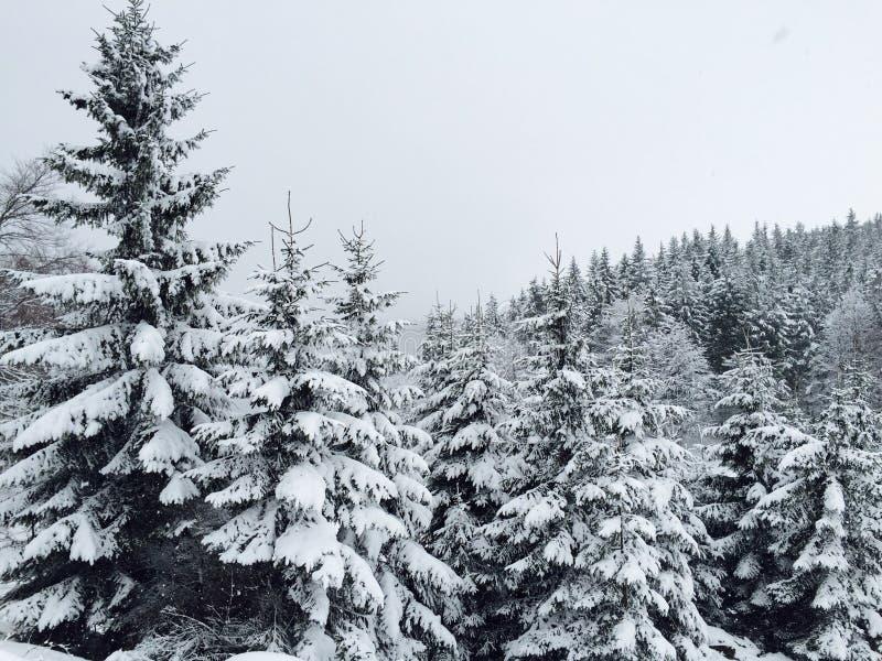 Bosque de las coníferas cubiertas en nieve en invierno fotografía de archivo libre de regalías