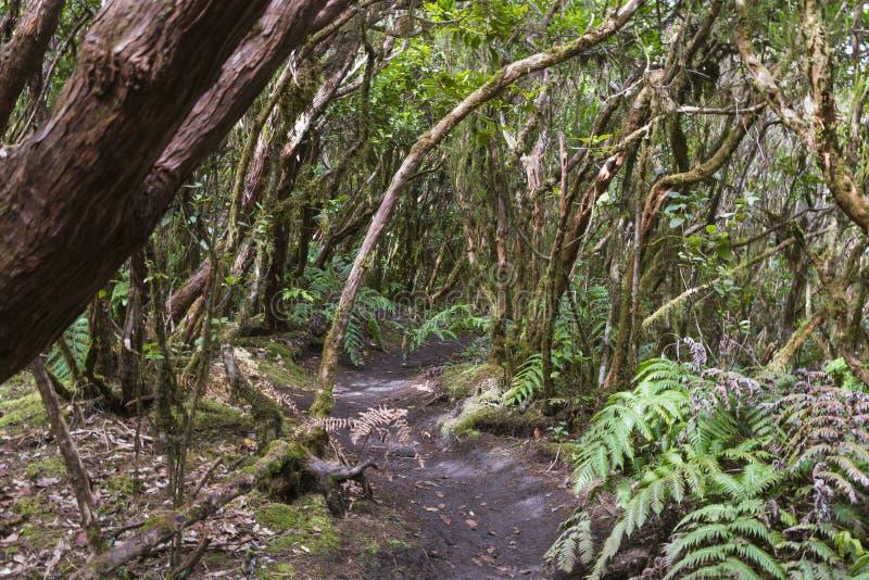 Bosque de Laural en Tenerife, España imágenes de archivo libres de regalías