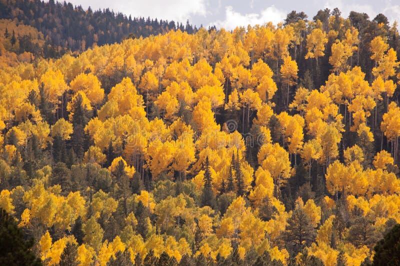 Bosque de los álamos tembloses amarillos de Arizona fotos de archivo