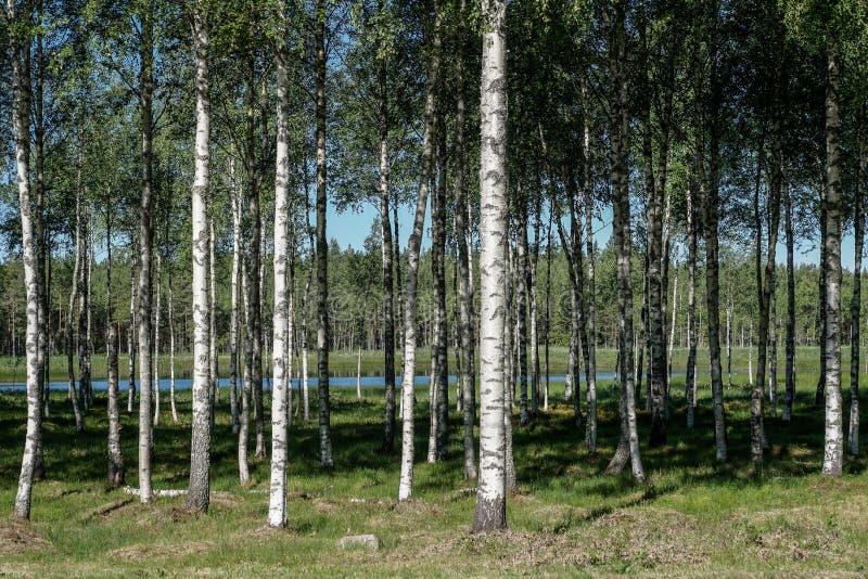 Bosque de los árboles de abedul en tiempo de verano foto de archivo