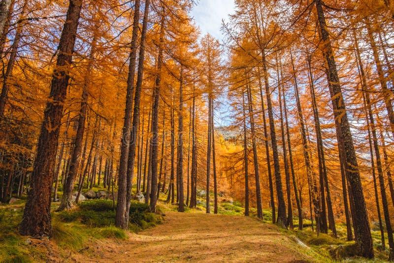 Bosque de los árboles altos de alerces en utumn imagenes de archivo