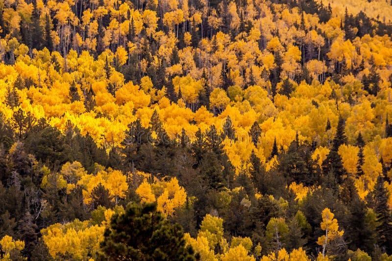 Bosque de los árboles amarillos altos de Aspen fotografía de archivo libre de regalías