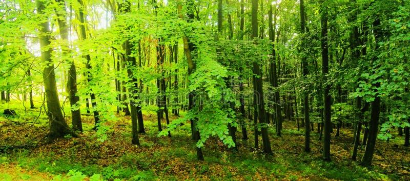 Bosque de los árboles de haya en la luz del día de la primavera foto de archivo