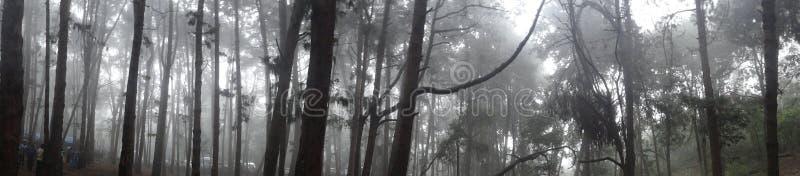 Bosque de los árboles de pino con la niebla imagenes de archivo