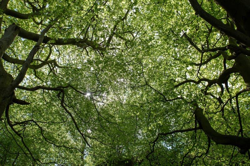 Bosque de los árboles que mira para arriba en el sol del toldo glinting a través imagen de archivo