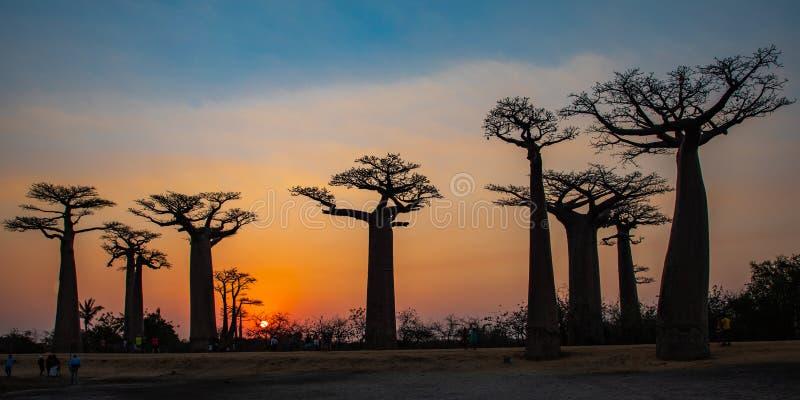 Bosque de los baobabs - Madagascar fotografía de archivo
