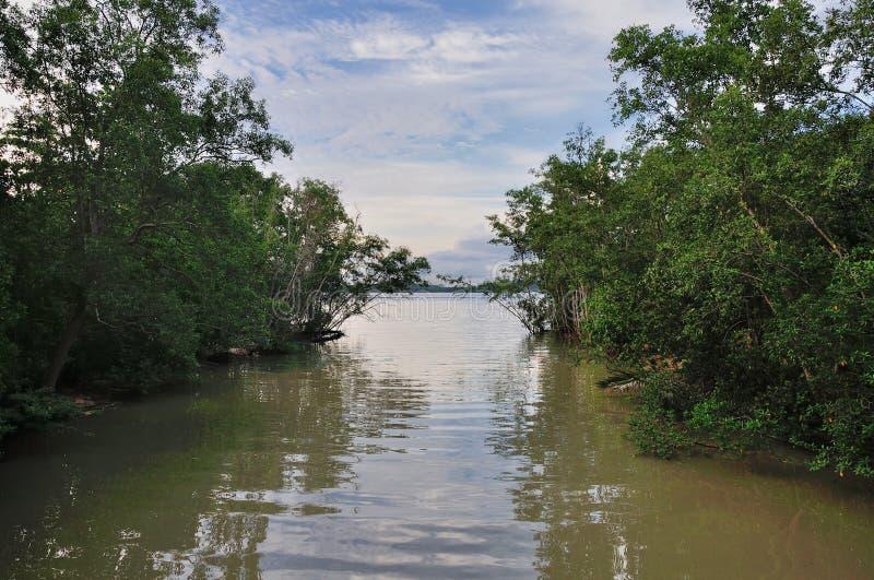 Bosque de los mangles imagen de archivo libre de regalías