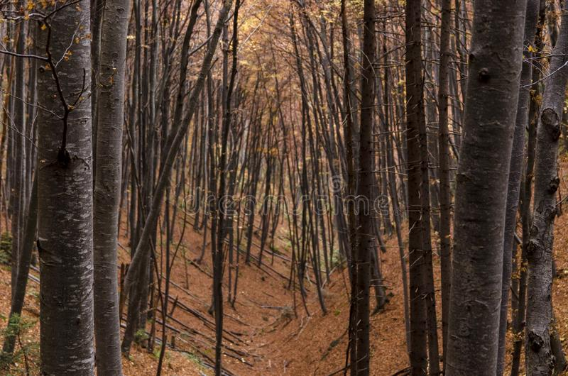 Bosque de los troncos de árboles de haya en otoño fotos de archivo libres de regalías