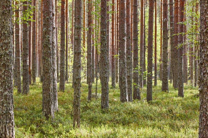 Bosque de madera de pino de Finlandia en la puesta del sol Paisaje retroiluminado Viajes imagen de archivo