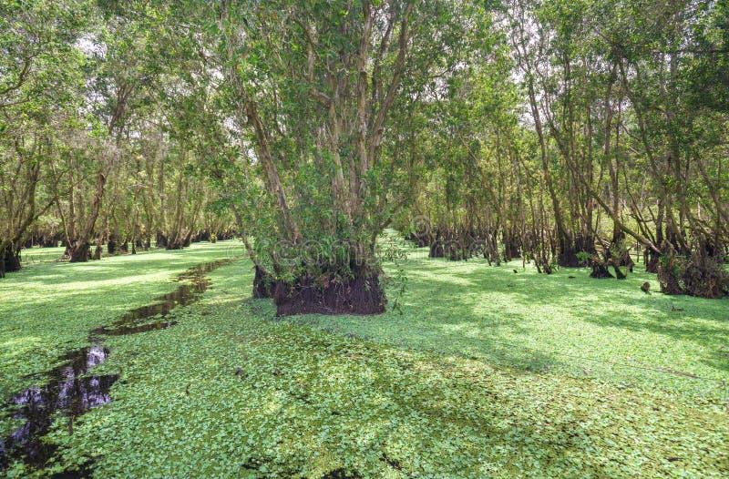 Bosque de Melaleuca por mañana soleada imágenes de archivo libres de regalías
