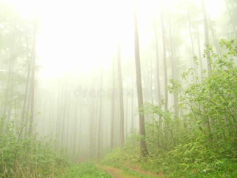 Bosque de niebla con los troncos desnudos imágenes de archivo libres de regalías