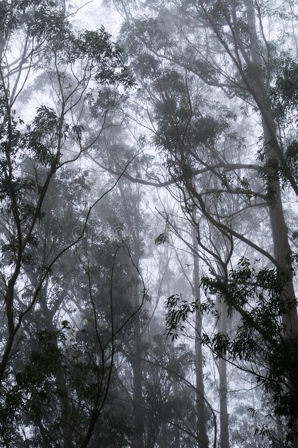 Bosque de niebla del eucalipto, San Pedro Valley County Park, área de la Bahía de San Francisco, California fotos de archivo