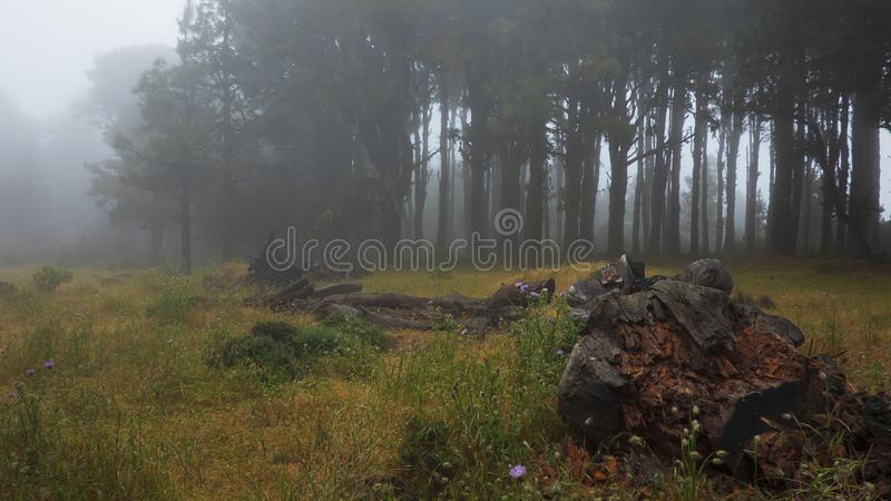 Bosque de niebla, fantasmal, con los árboles espeluznantes, oscuros imagenes de archivo