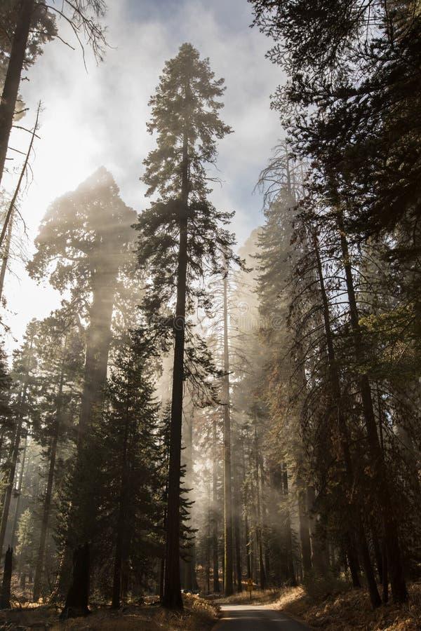Bosque de niebla de madera rojo del parque nacional de secoya imagen de archivo