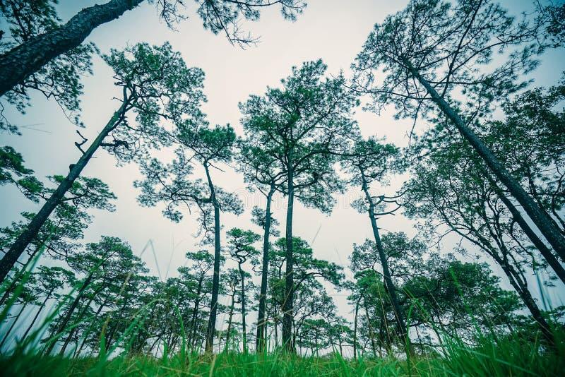 Bosque de pinos en la niebla en el parque nacional Phu Soi Dao, provincia de Uttaradit, Tailandia fotografía de archivo