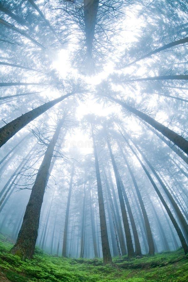 Bosque del árbol de abeto de la mañana del panorama. fotografía de archivo libre de regalías