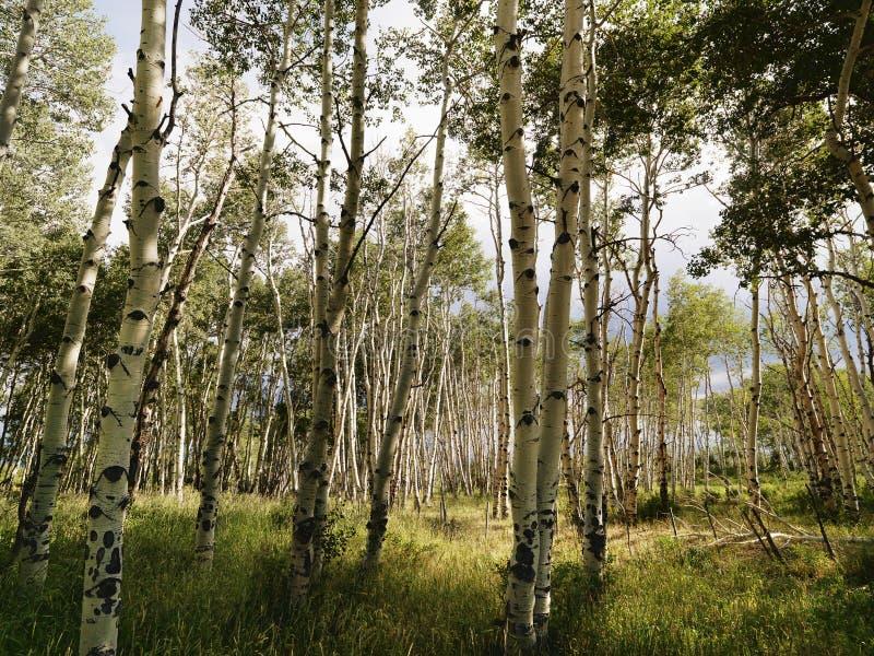 Bosque del árbol de Aspen. fotografía de archivo