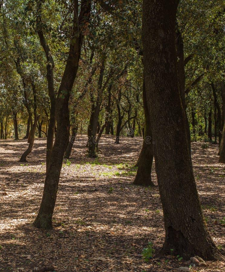 Bosque del árbol de Holm Oak fotografía de archivo