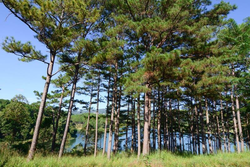 Bosque del árbol de pino fotografía de archivo