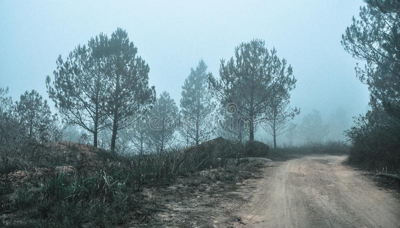 Bosque del árbol de pino en día brumoso foto de archivo