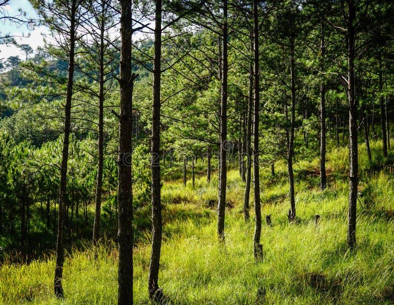 Bosque del árbol de pino en Dalat, Vietnam imagen de archivo