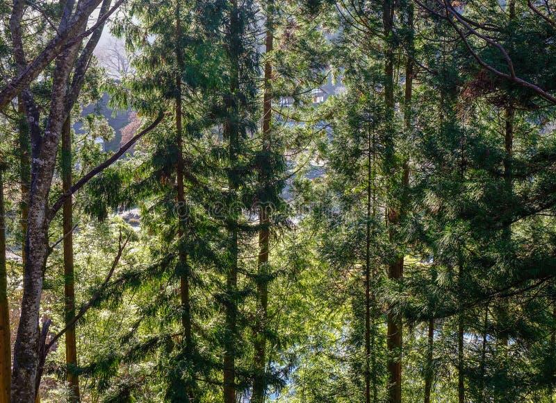 Bosque del árbol de pino en Gifu, Japón foto de archivo