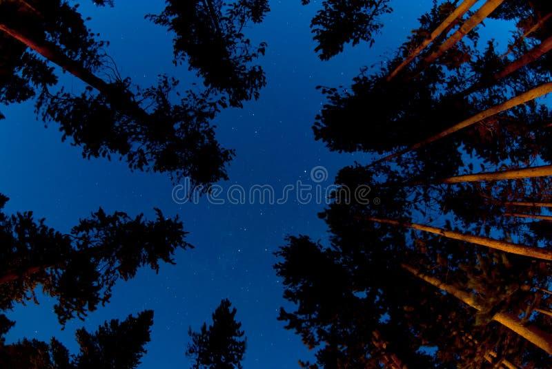 Bosque del árbol de pino en la noche imagenes de archivo
