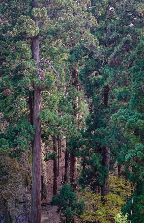 Bosque del árbol de pino en Yamadera, Japón imágenes de archivo libres de regalías