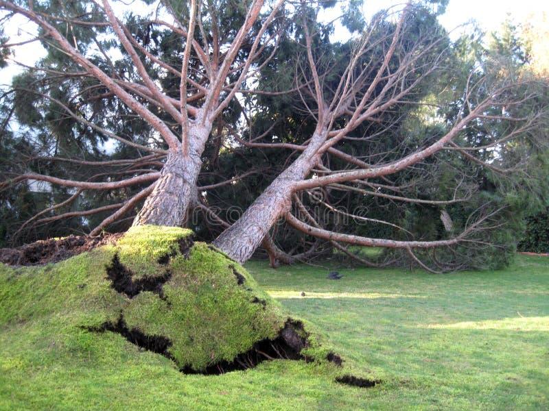 Bosque del árbol de pino y árbol caido imagen de archivo libre de regalías