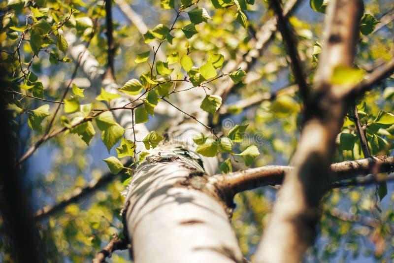 Bosque del abedul en luz del sol fotografía de archivo libre de regalías